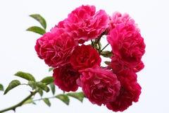 桃红色玫瑰浪花 免版税图库摄影