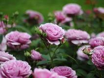 桃红色玫瑰淡紫色冰的领域在玫瑰园里 库存照片