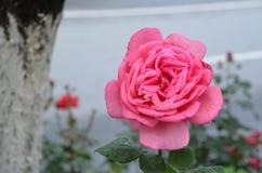 桃红色玫瑰湿在与自然光的雨中 免版税图库摄影