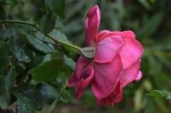 桃红色玫瑰湿在与自然光的雨中 图库摄影