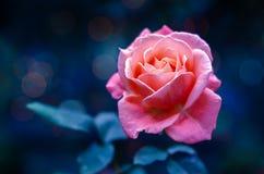 桃红色玫瑰点燃Bokeh蓝色背景情人节 免版税图库摄影