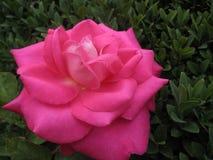 桃红色玫瑰照片宏观美丽的被打开的花  免版税库存照片