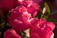 桃红色玫瑰特写镜头  免版税库存照片