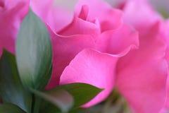 桃红色玫瑰特写镜头  库存图片