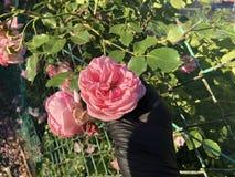 桃红色玫瑰用在黑手套的一只手 免版税库存照片