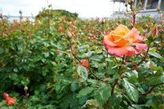 桃红色玫瑰的布什在绿色庭院里 库存图片