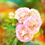 桃红色玫瑰的布什在庭院里 新春天开花与在蓝色被弄脏的背景的水下落 图库摄影
