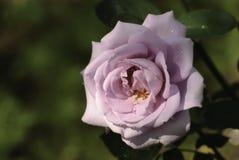 桃红色玫瑰的美丽的芽 免版税库存图片