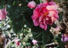 桃红色玫瑰的芽在阳光下 库存图片