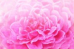 桃红色玫瑰背景软的焦点  库存图片