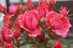 桃红色玫瑰色品种的花和芽特写镜头  库存照片