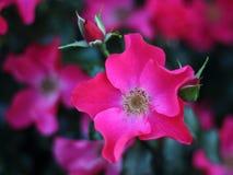 桃红色玫瑰色施塔特Rom的特写镜头在玫瑰园里 库存图片