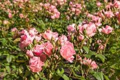 桃红色玫瑰花圃在庭院里 图库摄影