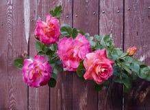 桃红色玫瑰花在木背景的 免版税库存照片