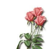 桃红色玫瑰花束在白色背景的 库存照片