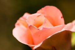 桃红色玫瑰花瓣关闭 免版税库存图片