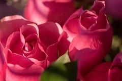 桃红色玫瑰花瓣特写镜头  免版税图库摄影
