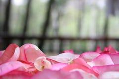 桃红色玫瑰花瓣 免版税库存照片