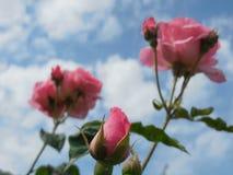 桃红色玫瑰花蕾和玫瑰 免版税库存图片