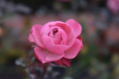 桃红色玫瑰花蕾 库存照片