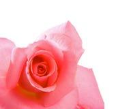 桃红色玫瑰花蕾 免版税库存照片
