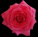桃红色玫瑰花,染黑与裁减路线的被隔绝的背景 特写镜头 库存照片