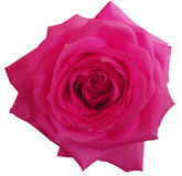 桃红色玫瑰花,白色隔绝了与裁减路线的背景 特写镜头 免版税库存照片
