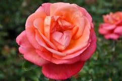 桃红色玫瑰花 图库摄影