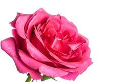 桃红色玫瑰芽 免版税库存照片