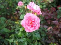 桃红色玫瑰被弄脏的背景,桃红色玫瑰背景 库存照片