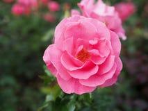 桃红色玫瑰被弄脏的背景,桃红色玫瑰背景 免版税库存照片