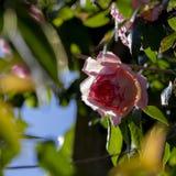 桃红色玫瑰装饰庭院 免版税库存照片
