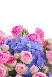 桃红色玫瑰诗句和蓝色霍滕西亚花关闭  免版税图库摄影