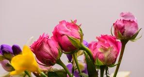 桃红色玫瑰,春天 库存图片