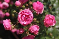 桃红色玫瑰,美好的自然 免版税库存照片