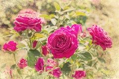 桃红色玫瑰,葡萄酒样式 免版税库存图片