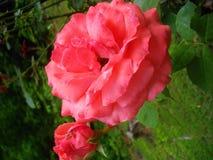 桃红色玫瑰绽放 免版税库存照片