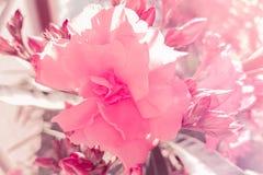 桃红色玫瑰细节在太阳光、假日事件情人节和爱下的庭院里 免版税库存图片