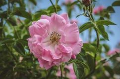 桃红色玫瑰细节  免版税库存照片