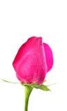 桃红色玫瑰 库存照片