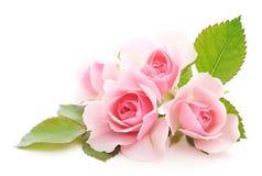 桃红色玫瑰 皇族释放例证