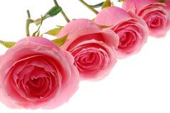 桃红色玫瑰 免版税图库摄影