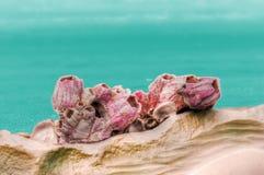 桃红色珊瑚 免版税库存图片