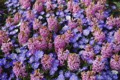 `桃红色珍珠`风信花Hyacinthus和银莲花属布兰达`蓝色背景遮蔽`花 免版税图库摄影