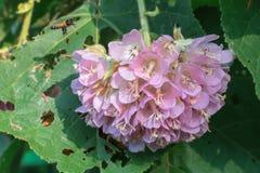 桃红色球Dombeya wallichii花 知道由共同的名字pinkball,桃红色球树 免版税库存照片