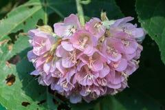 桃红色球Dombeya wallichii花 知道由共同的名字pinkball,桃红色球树 库存照片