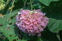 桃红色球Dombeya wallichii花 知道由共同的名字pinkball,桃红色球树 库存图片