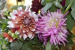 桃红色白和红色大丽花是花,著名为使目炫秀丽,激发激情并且推挤疯狂的行动 免版税库存图片