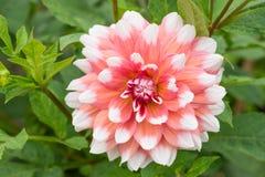 桃红色白的大丽花本质上 免版税库存照片