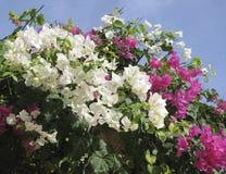 桃红色白的夹竹桃进展的分支在蓝天背景的 免版税库存照片